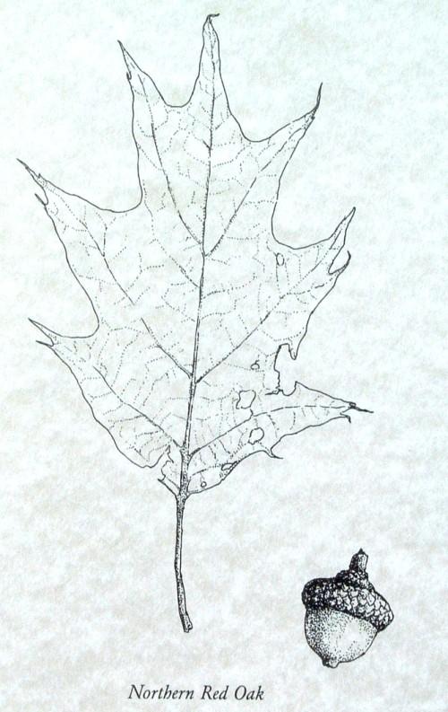 red oak leaf and acorn illustration
